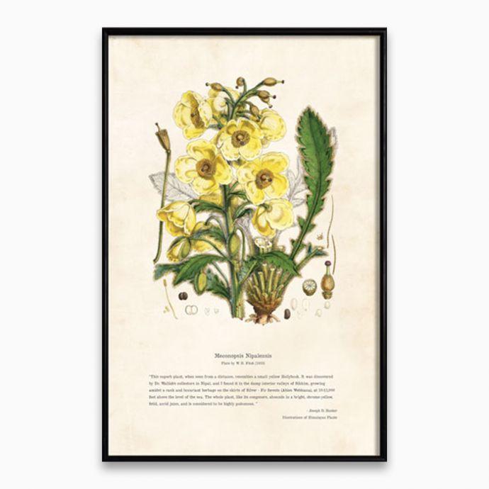 Himalayan Plants - Meconopsis Nipalensis