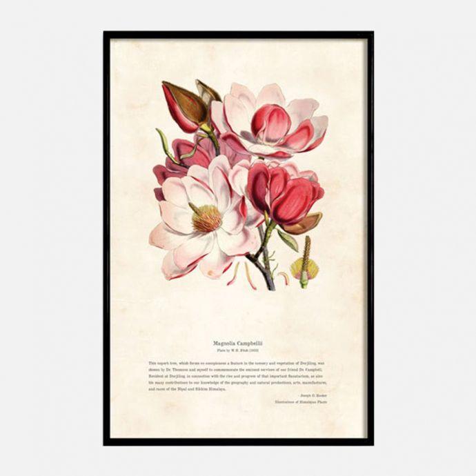 Himalayan Plants - Magnolia Campbellii